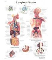 Limfni sustav (1392)