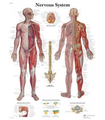 Živčani sustav (1620)