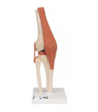 Zglob koljena, funkcionalni s ligamentima i hrskavicom