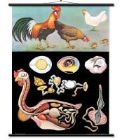 Domaća kokoš