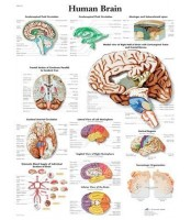 Ljudski mozak (1615)