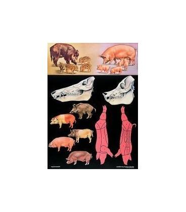 Divlji vepar/domaća svinja