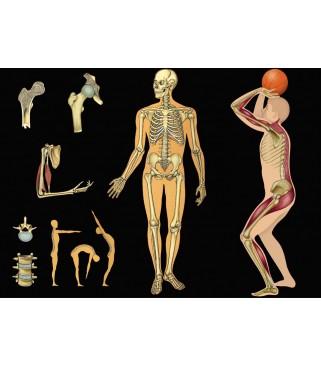 Ljudski kostur i mišići