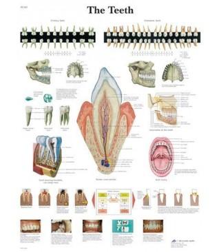 Zubi (1263)