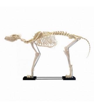 Kostur psa, veliki