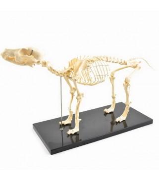 Kostur psa, srednji
