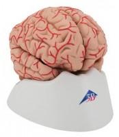 Mozak sa arterijama 9 dijelova