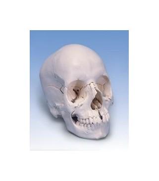 Lubanja anatomska 22 dijela