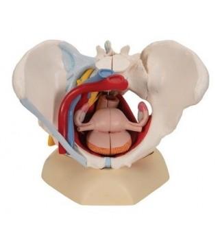 Žen. zdjelica s ligamentima