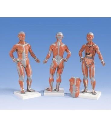 Muskulatura manja, 2 dijela