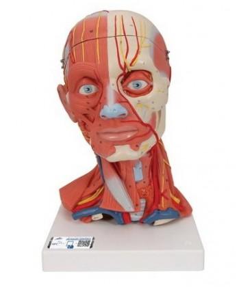 Muskulatura glave i vrata