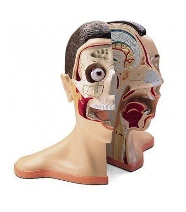 Glava i vrat