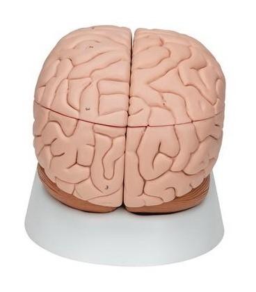 Mozak, 8 dijelova