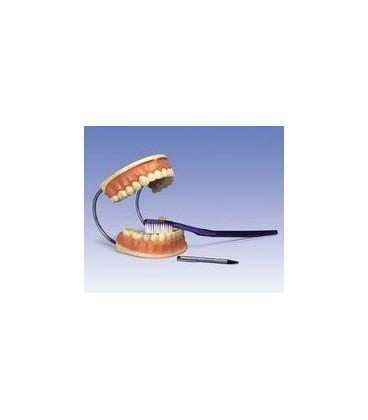 Veliki model Zubne njege