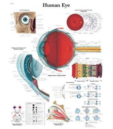 Ljudsko oko (1226)