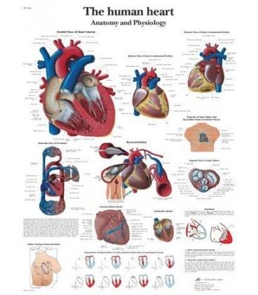 Ljudsko srce (1334)