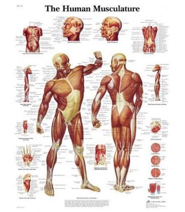 Muskulatura (1118)