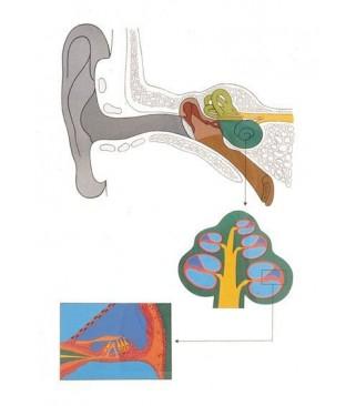 Biologija: Stanice i tkiva životinja