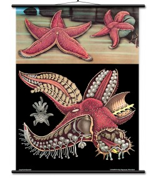 Crvena morska zvijezda