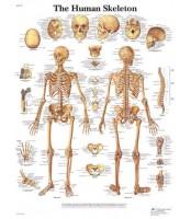 Ljudski kostur (1113)