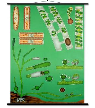 Slatkovodne alge